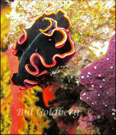 Black And Red Flatworm
