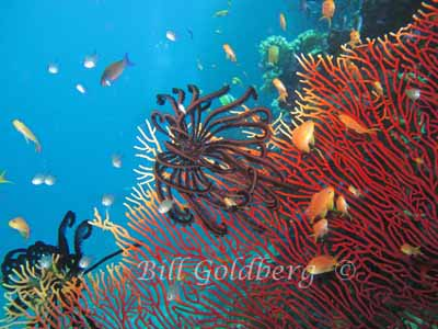 Sea Fans With Crinoids