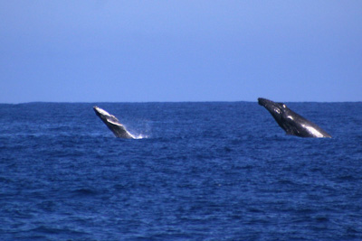 whale and calf breaching
